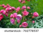 beautiful rosebush in rosarium