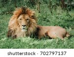 Lion Male Sleeping In The Gree...