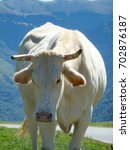 Small photo of A cow in the Col de Tourmalet, the highest paved mountain pass in the French Pyrenees.