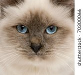 Close Up Of Birman Cat's Face ...