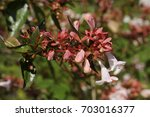 "Small photo of Hybrid ""Glossy Abelia"" flowers in St. Gallen, Switzerland. Its Latin name is Abelia x Grandiflora (Syn A. Rupestris), hybrid of A. Chinensis and A. Uniflora."