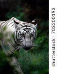 The White Bengal Tigers Are...