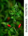 Small photo of Bird Chilli or Bird's Eye Chilli or Chilli Padi or Thai Pepper or Capsicum Annum.