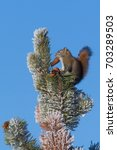 Small photo of American Red Squirrel Tamiasciurus hudsonicus collecting cones in frosty pine in Teslin, Yukon, Canada