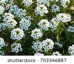 Small photo of White alyssum on flowerbed.