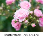 beautiful pink rose isolated... | Shutterstock . vector #703478173