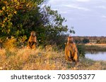 two chacma baboons sun bathing... | Shutterstock . vector #703505377