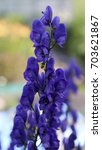 Small photo of Aconite flower commonly known as aconitum, monkshood, wolf's bane, leopard's bane, mousebane, women's bane, devil's helmet, queen of poisons, or blue rocket.