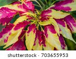 Small photo of Amaranthus tricolor