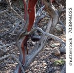 Small photo of Abstract photo of a dancing manzanita trunk; Tonto National Forest in Arizona