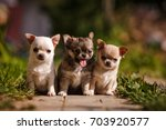 Three Chihuahua Little Puppy...
