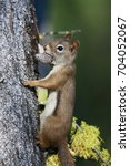 Small photo of American Red Squirrel Tamiasciurus hudsonicus carrying pine cone in Okanagan Valley, British Columbia, Canada
