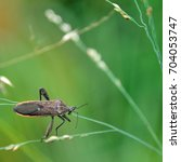 Small photo of Leaf-footed Bug (Anoplocnemis sp., Coreidae) crawling on a leaf crowded with green leaf