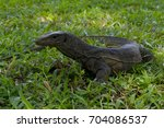 lizard with it's tongue ... | Shutterstock . vector #704086537