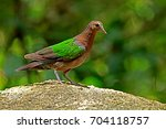common emerald dove  | Shutterstock . vector #704118757