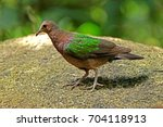common emerald dove  | Shutterstock . vector #704118913