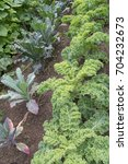 Small photo of Different Varieties (Reflex, Dazzling Blue) of Home Grown Organic Kale (Brassica oleracea) on an Allotment in a Vegetable Garden in Rural Devon, England, UK