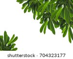 Small photo of Green leaf alstonia scholari tree texture isolated white background.