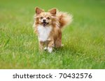 Petite Chihuahua  Happily On A...