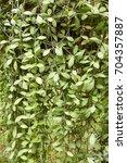 Small photo of fresh green Dischidia nummularia plant in nature garden