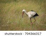 a white stork looking for food... | Shutterstock . vector #704366317
