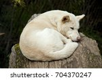 The White Dingo Is Laying On A...