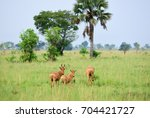 Small photo of Herd of the antelope Lelwel Hartebeest (Alcelaphus buselaphus lelwel), also known as Jackson's hartebeest in the Murchison Falls national park, Uganda, Africa