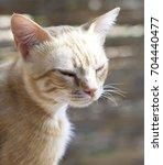 cat portrait close up. sleepy... | Shutterstock . vector #704440477