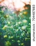 yellow little meadow flowers in ... | Shutterstock . vector #704487883