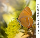 Small photo of Lovely Lycaenidae Brown Hairstreak butterfly (Thecla betulae) is sitting on a yellow flower. Close-up, macro. Soft focus on blurred orange background. For wide application in your design.