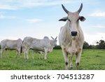 Nelore Cattle