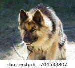 german shepherd sits on a green ... | Shutterstock . vector #704533807