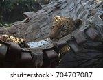 Leopard On Hammock Thinking