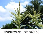 corn tassels with blue sky and... | Shutterstock . vector #704709877
