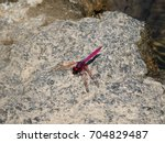 red dragonfly clear wings hold... | Shutterstock . vector #704829487