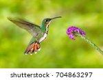 flying hummingbird. hummingbird ... | Shutterstock . vector #704863297