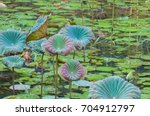 The Lotus Plant Is An Aquatic...