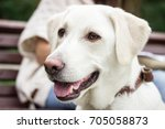 portrait of curious white... | Shutterstock . vector #705058873