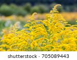 Inflorescences Of A Yellow...