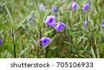 Small photo of Ruellia simplex is a species of flowering plant in the acanthus family. Light leak effect