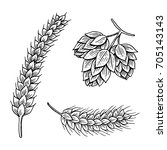 barley and wheat  malt and hops.... | Shutterstock .eps vector #705143143
