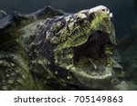 the alligator snapping turtle ... | Shutterstock . vector #705149863
