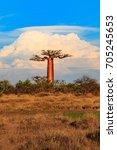 beautiful baobab trees at... | Shutterstock . vector #705245653