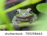 dumpy frogs  tree frogs | Shutterstock . vector #705298663