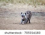 laughing hyena. a young adult... | Shutterstock . vector #705316183