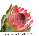 Pink Protea  Sugarbush  Flower...