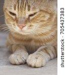 cat relaxing outside | Shutterstock . vector #705437383