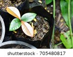 sapling of young plants in pots.... | Shutterstock . vector #705480817