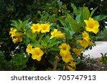 Small photo of Bush Allamanda Schottii in Florida Botanical Garden