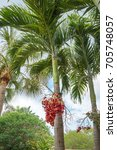 Small photo of Christmas Palm or Manila Palm, Adonidia merrillii in Florida Botanical Garden